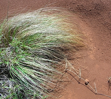 Eragrostis_curvula