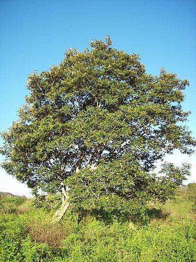 Adult tree at Bundanon, NSW