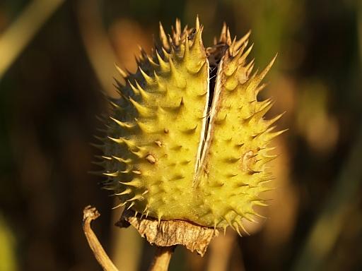 Seed pod by fturmog