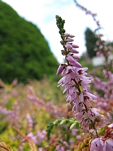 Flowering in England. Image by Kingsbraegarden