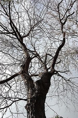 Mature Tree, Sydney