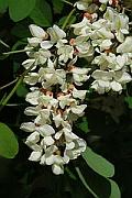locust_flowers_rob