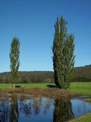 Adult trees, Bundanon, NSW