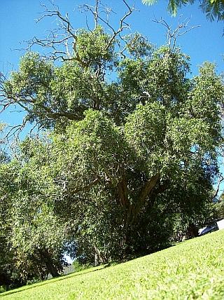 Old tree. Bundanon, NSW