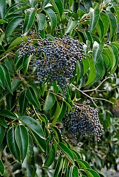 Fruiting adult. Lavander Bay, NSW. Image by Tony
