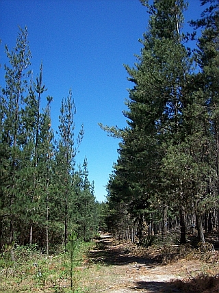 Radiata pine plantation, Lightow, NSW