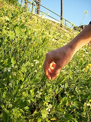 Foraging for Wild radish, western Sydney